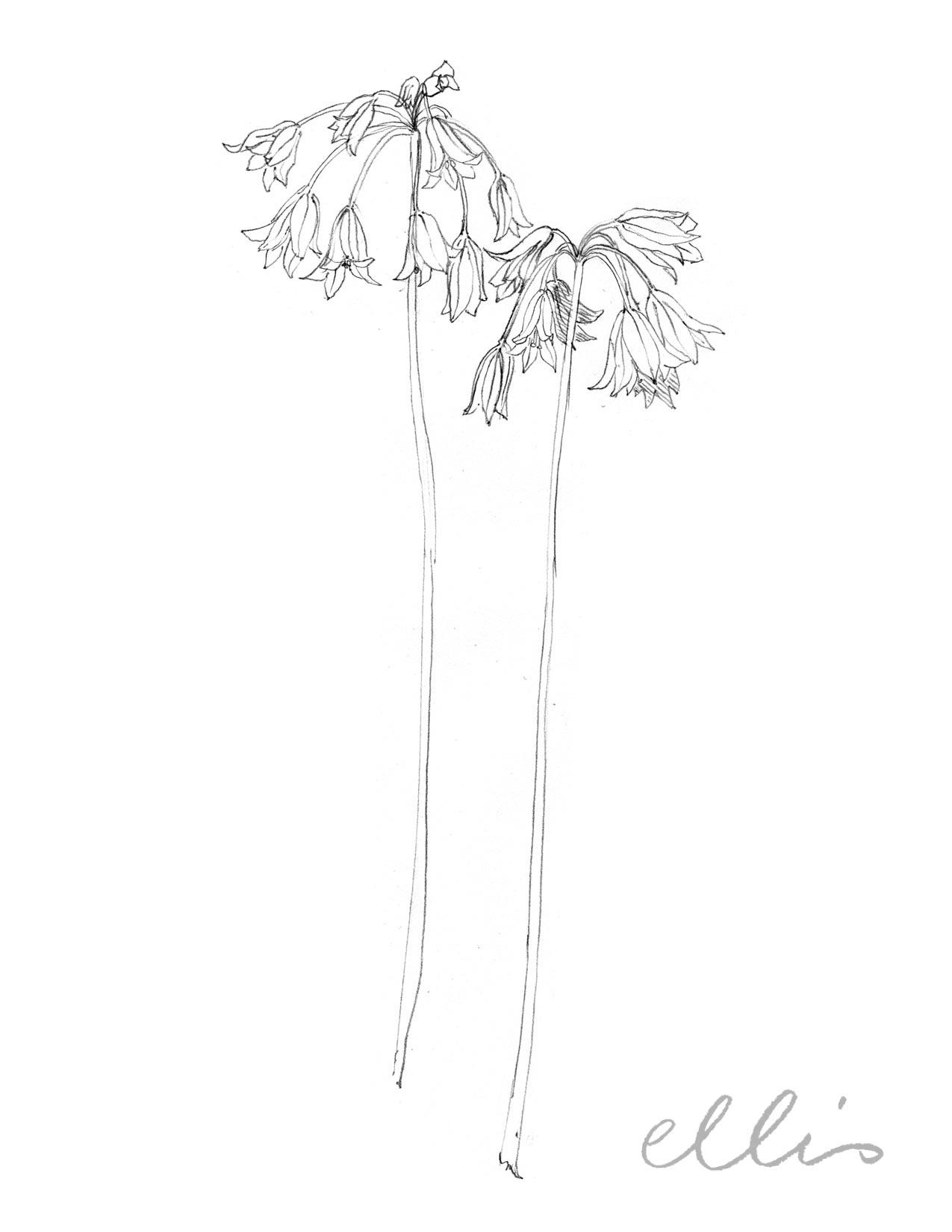 Erin Ellis_100 days project botanical drawings_2013-79.jpg