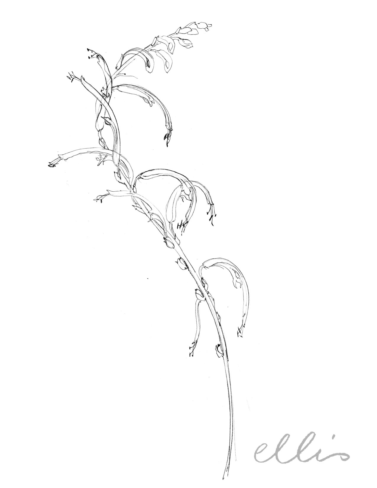 Erin Ellis_100 days project botanical drawings_2013-80.jpg