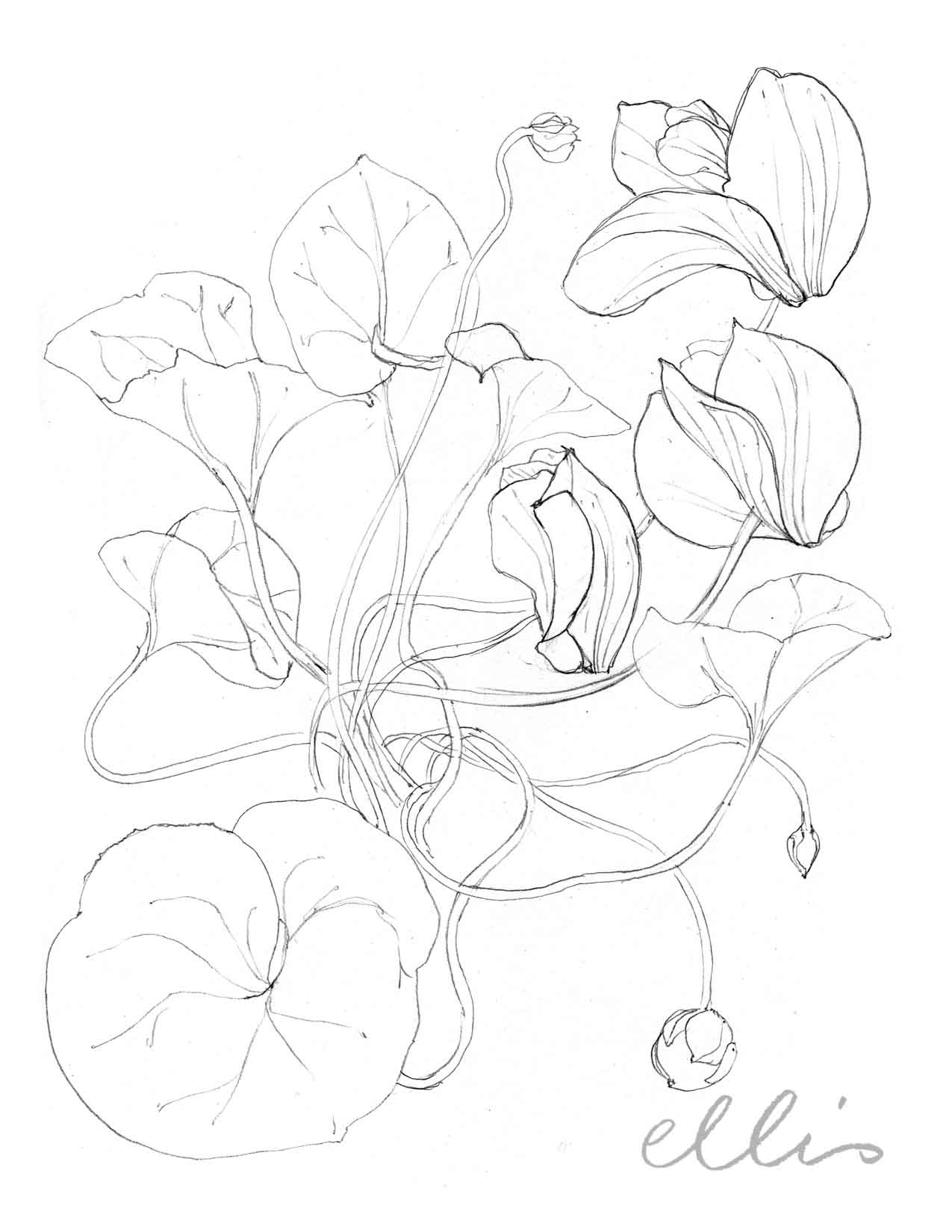 Erin Ellis_100 days project botanical drawings_2013-83.jpg