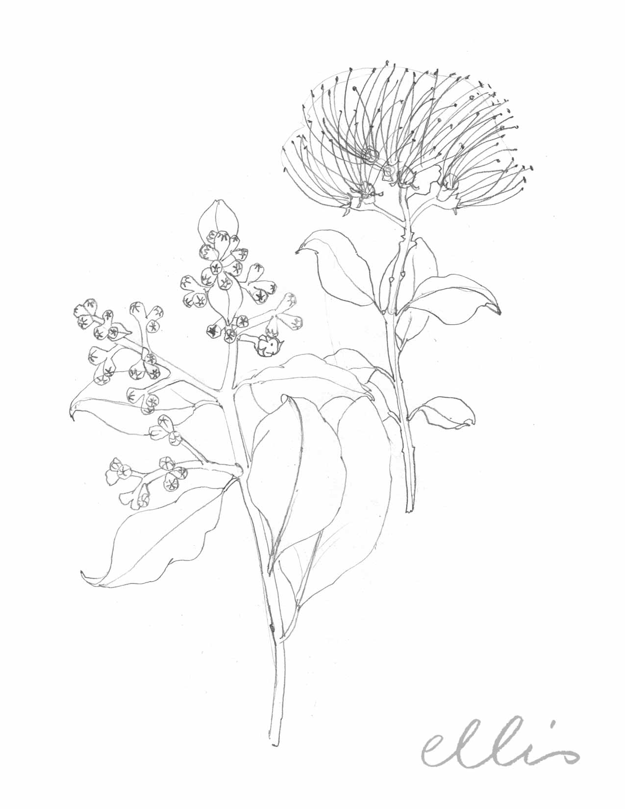 Erin Ellis_100 days project botanical drawings_2013-85.jpg