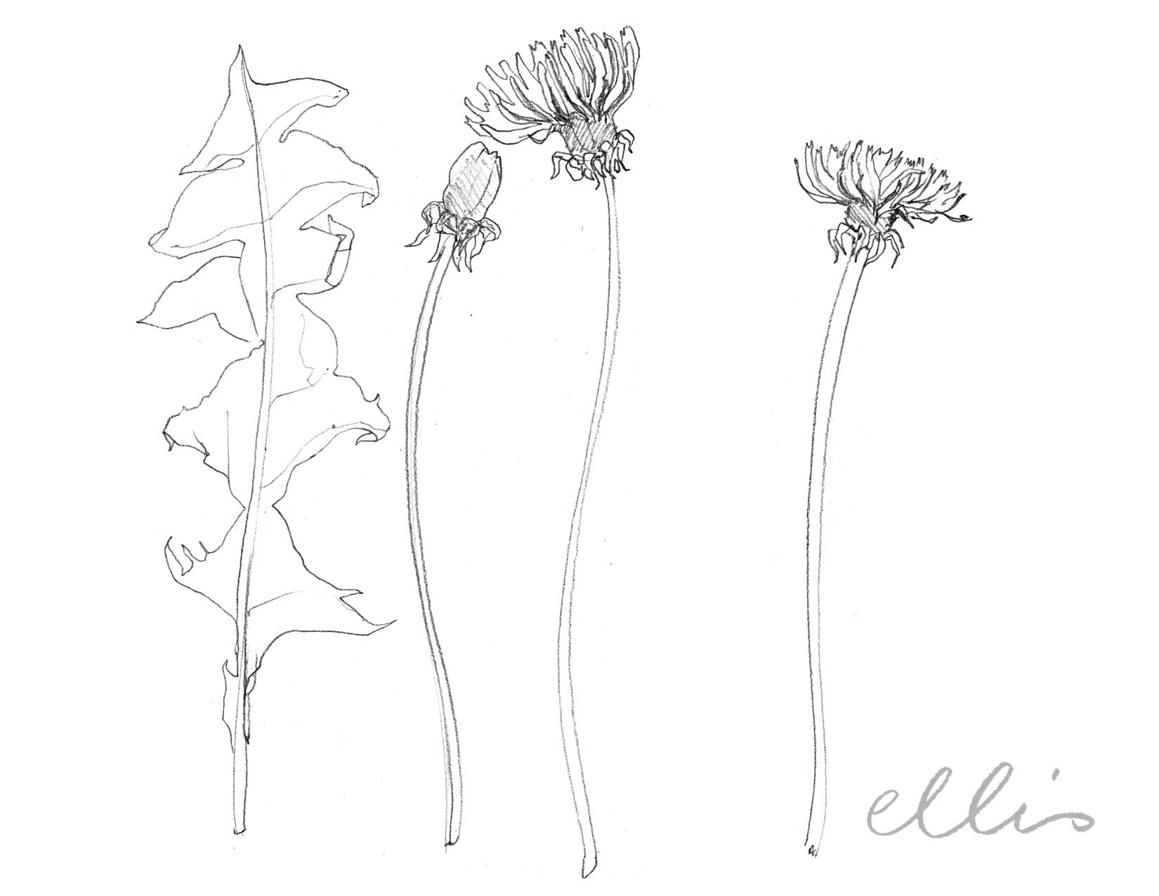 Erin Ellis_100 days project botanical drawings_2013-95.jpg