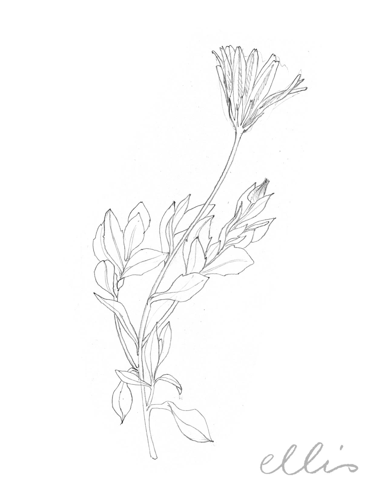Erin Ellis_100 days project botanical drawings_2013-97.jpg