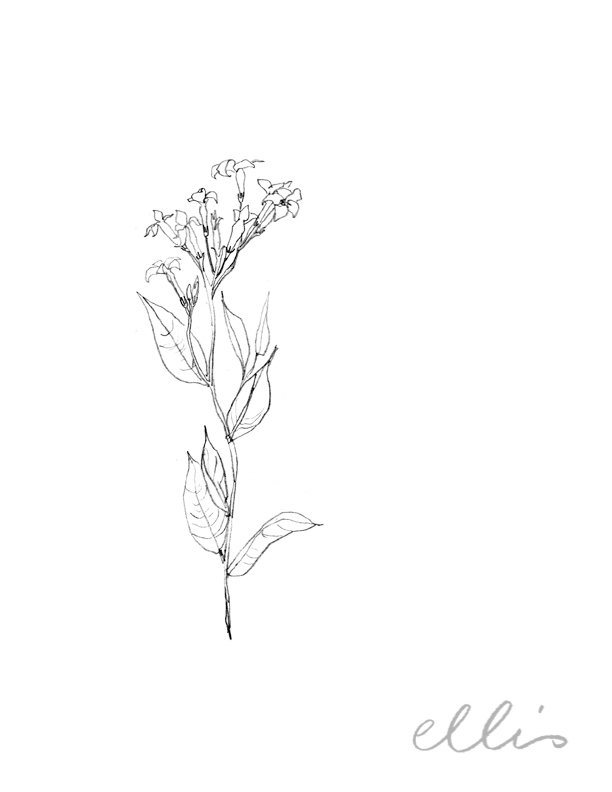Erin Ellis_100 days project botanical drawings_2013-4.jpg