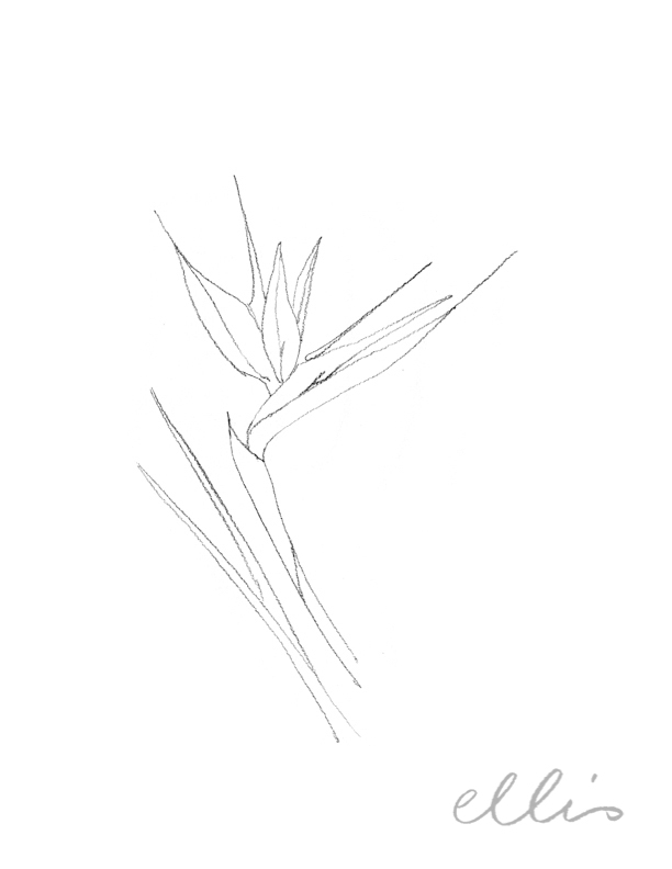 Erin Ellis_100 days project botanical drawings_2013-8.jpg
