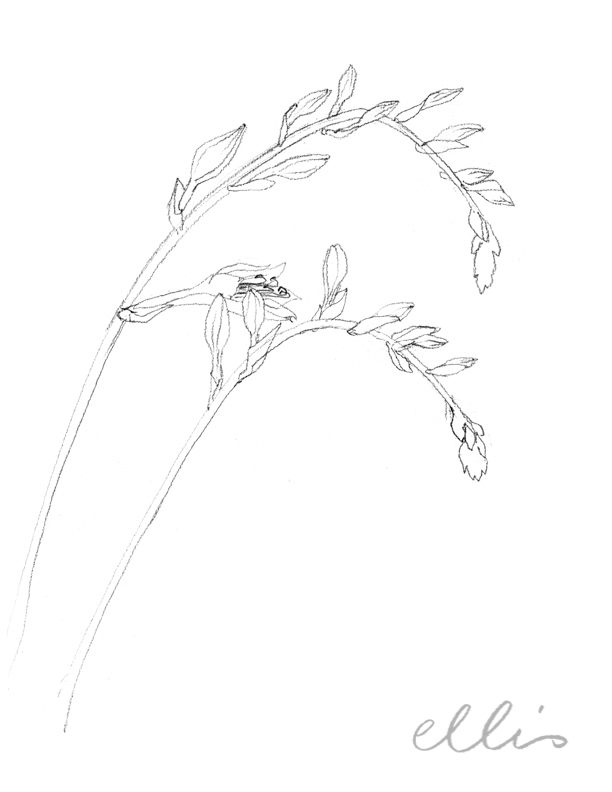 Erin Ellis_100 days project botanical drawings_2013-13.jpg