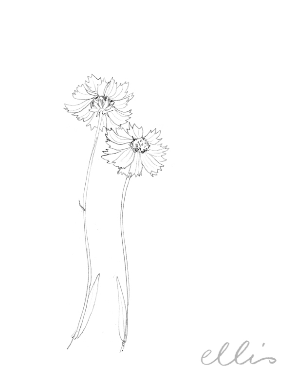 Erin Ellis_100 days project botanical drawings_2013-19.jpg