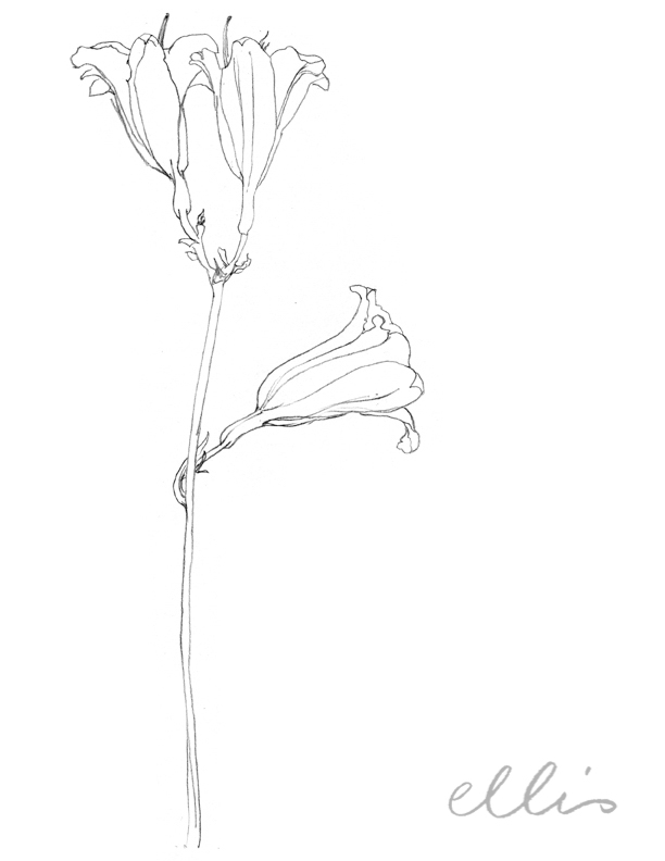 Erin Ellis_100 days project botanical drawings_2013-20.jpg