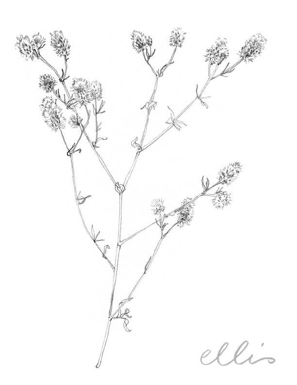 Erin Ellis_100 days project botanical drawings_2013-22.jpg