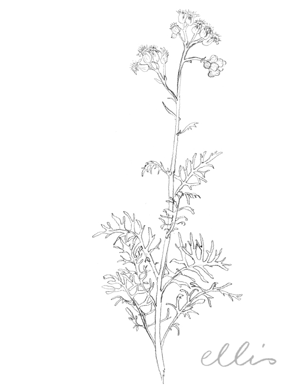 Erin Ellis_100 days project botanical drawings_2013-27.jpg