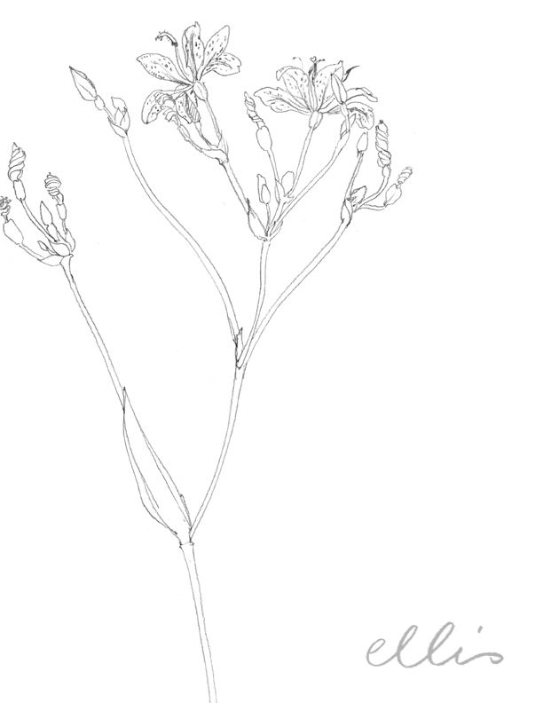 Erin Ellis_100 days project botanical drawings_2013-28.jpg