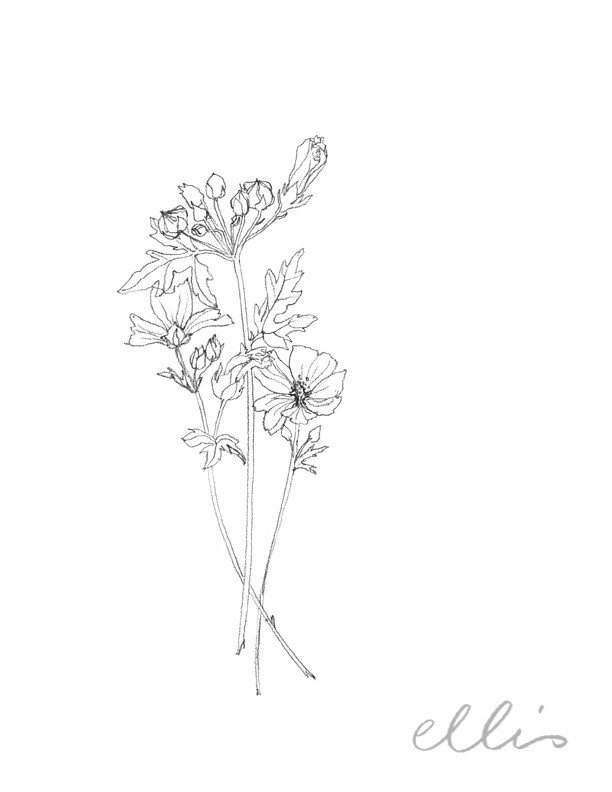 Erin Ellis_100 days project botanical drawings_2013-30.jpg