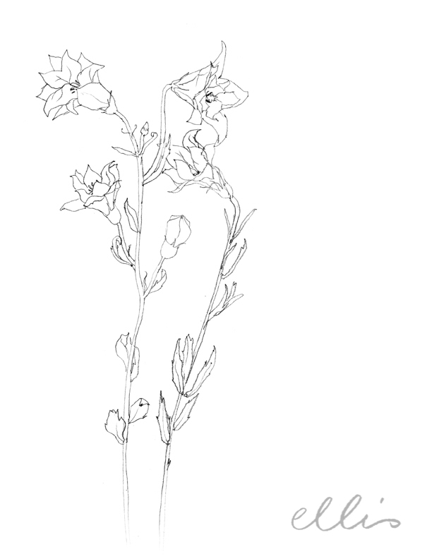 Erin Ellis_100 days project botanical drawings_2013-31.jpg
