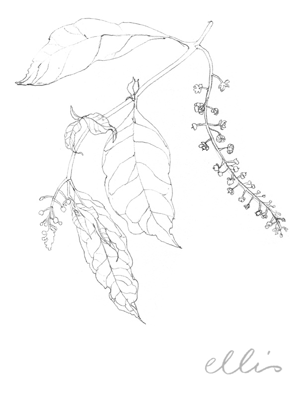 Erin Ellis_100 days project botanical drawings_2013-36.jpg