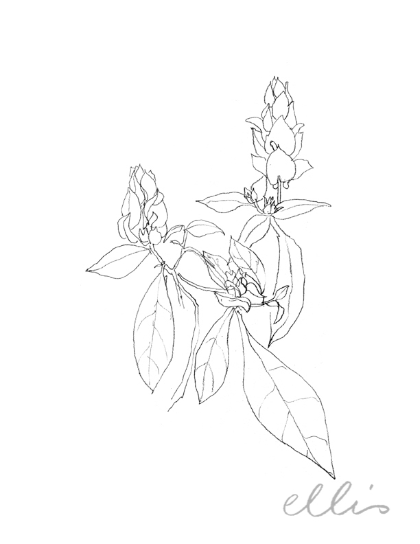 Erin Ellis_100 days project botanical drawings_2013-38.jpg