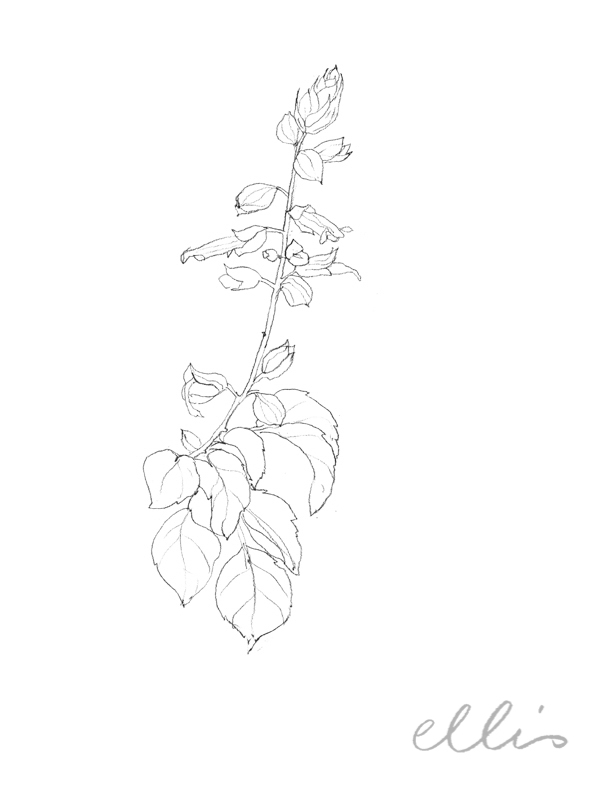 Erin Ellis_100 days project botanical drawings_2013-40.jpg
