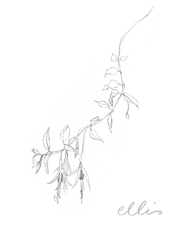 Erin Ellis_100 days project botanical drawings_2013-43.jpg
