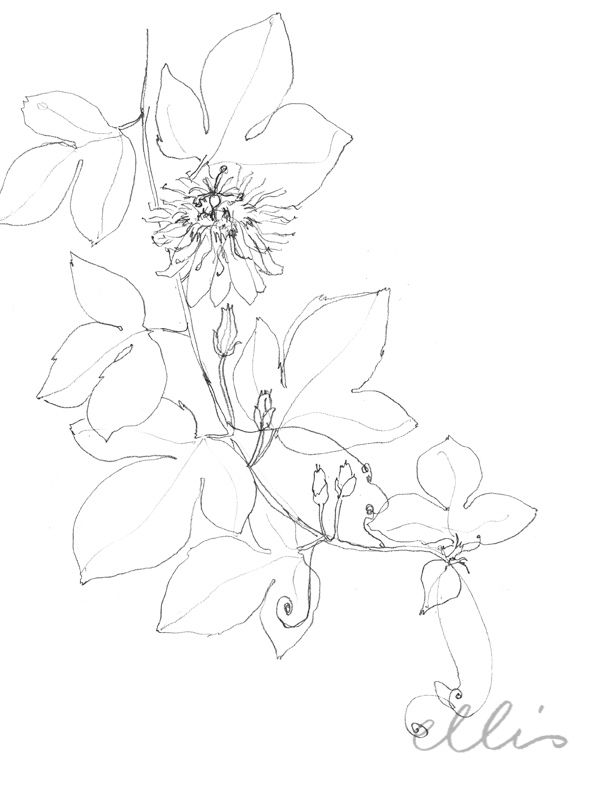 Erin Ellis_100 days project botanical drawings_2013-45.jpg