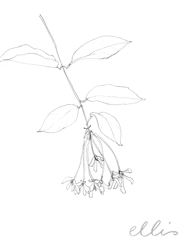 Erin Ellis_100 days project botanical drawings_2013-46.jpg