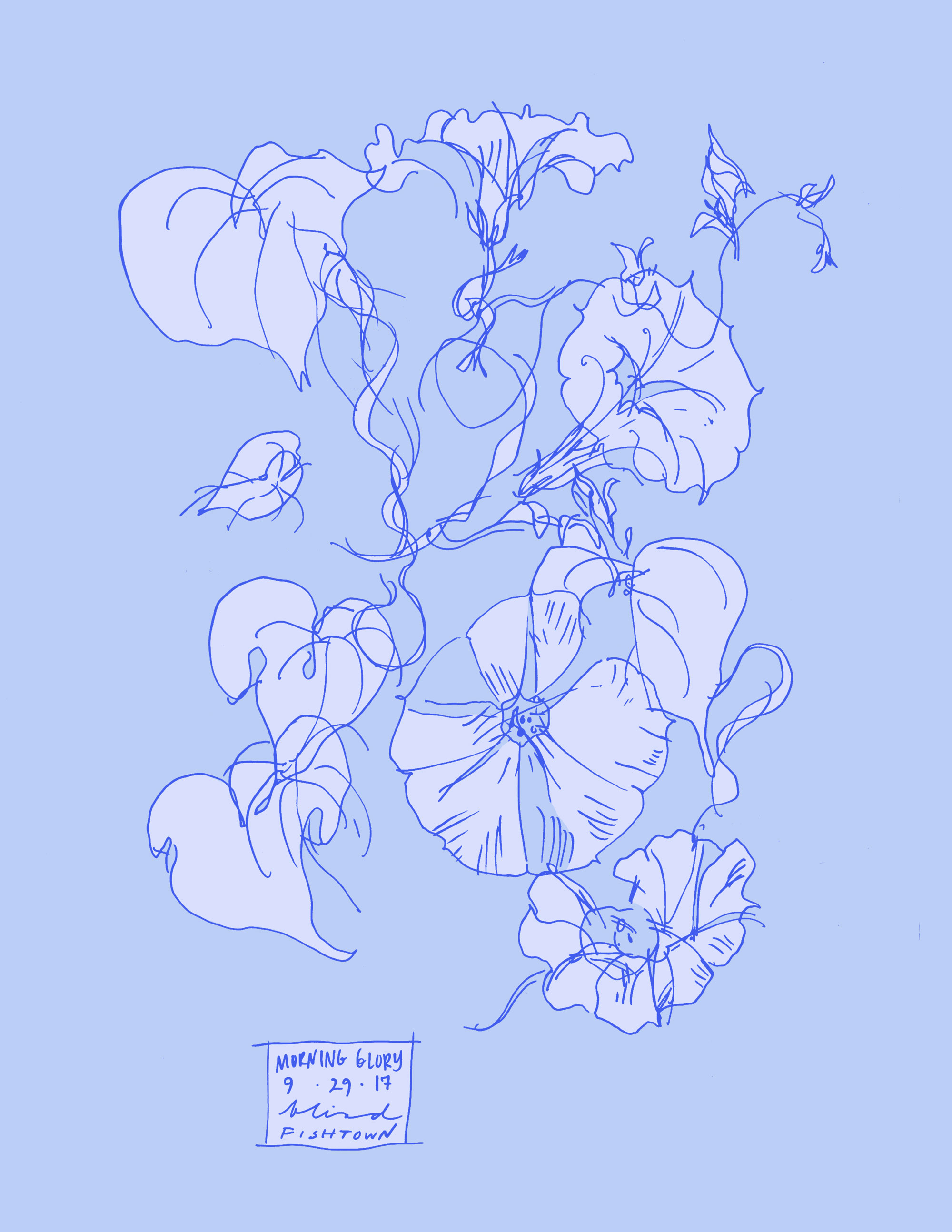 Morning Glory botanical line color illustration