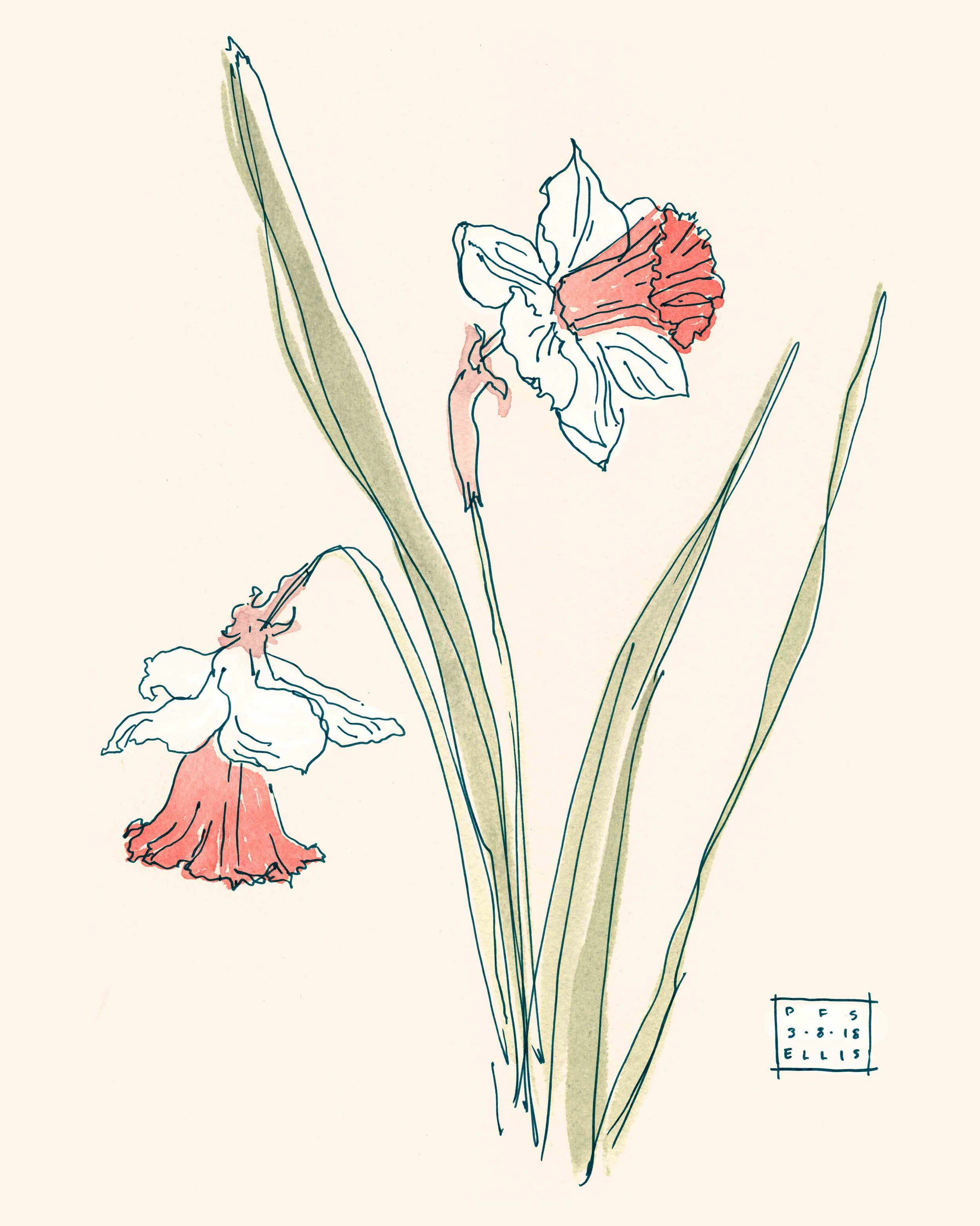 erin-ellis_Daffodil-illustration_PFS_2019-web.jpg