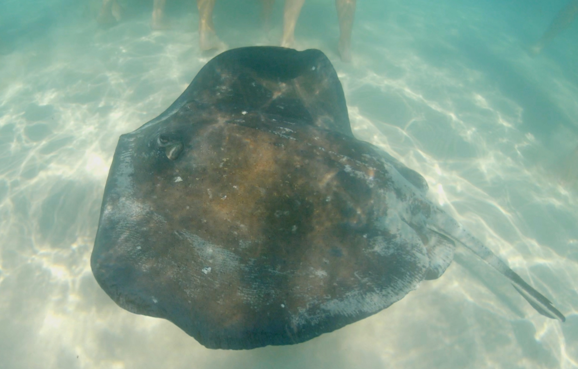 A stingray swimming round our feet.