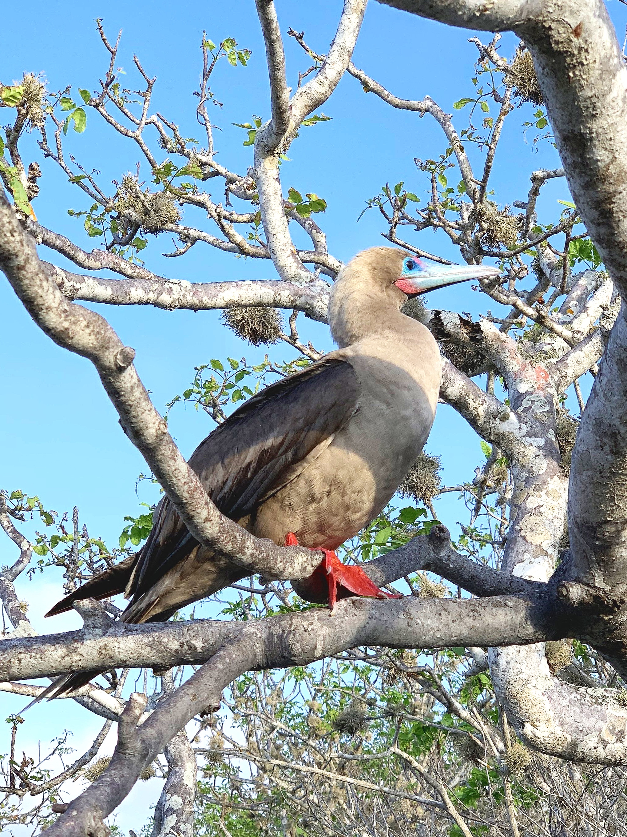 The wonderful red-footed boobie.