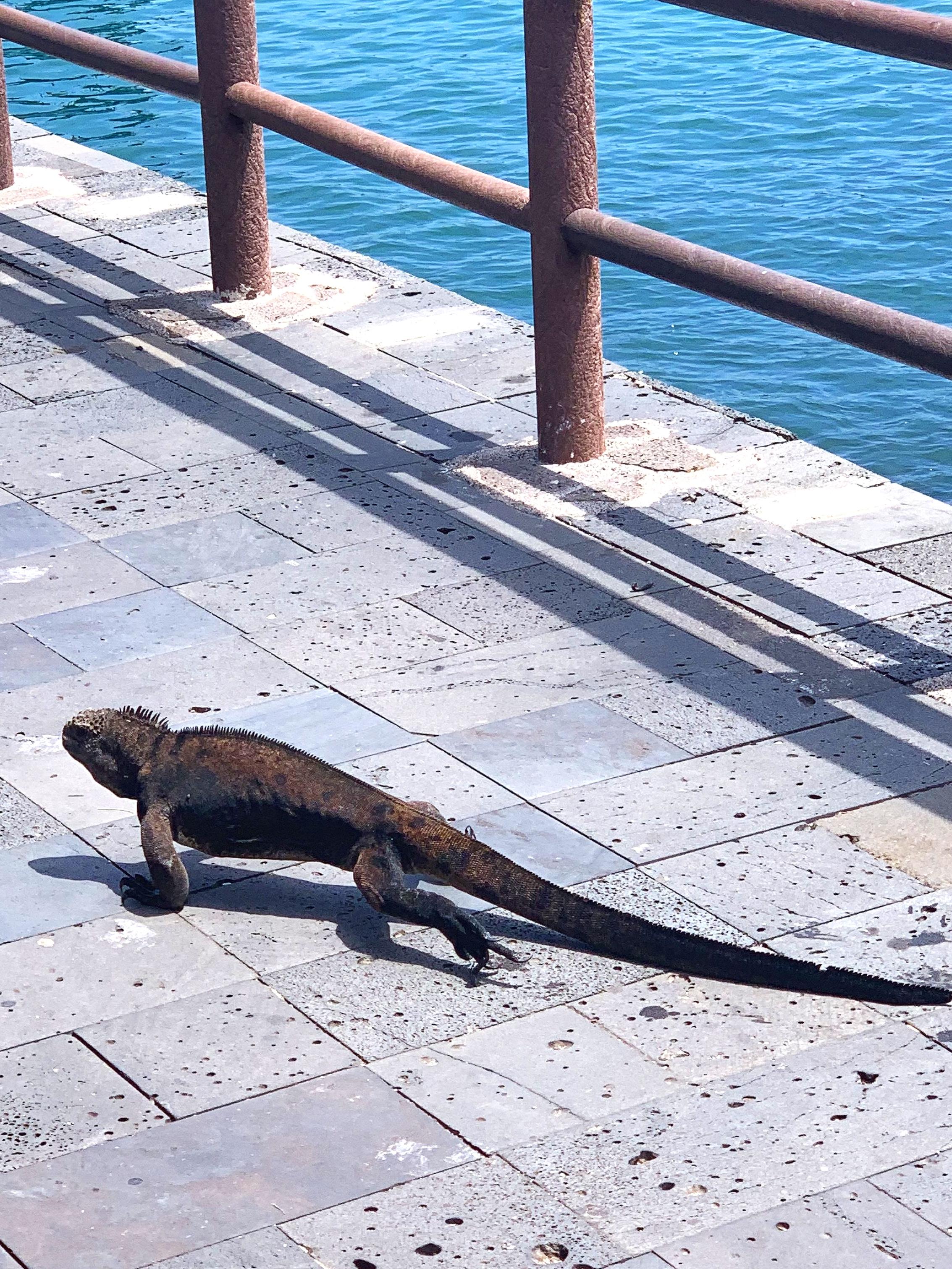 Sharing the sidewalk with marine iguanas.