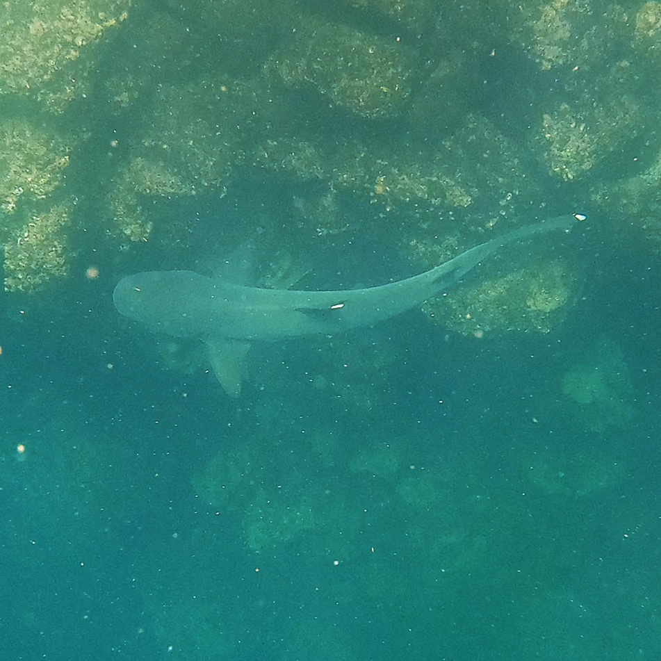 Up close and personal with a white tipped shark!