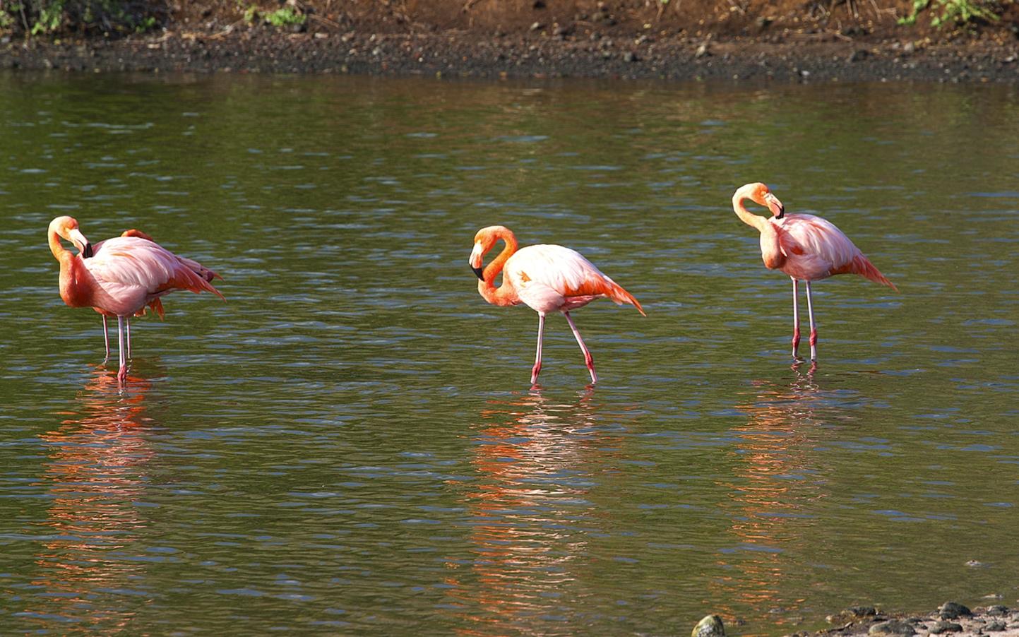 Beautiful flamingos.