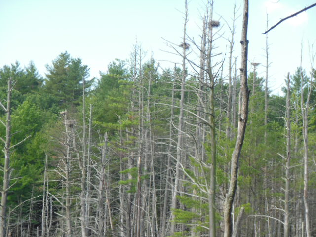 Heron nests-five were found on the hike by Bob Naess