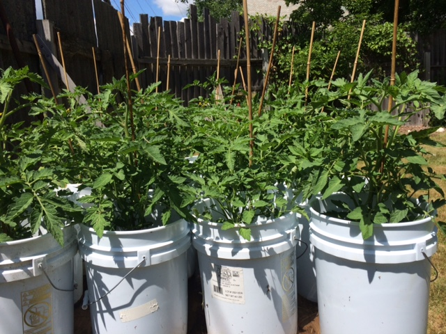 Tomato plants all set for the Annual Plant Sale at the CHS Museum, Saturday, July 2 from 8:30-2:30 at the CHS Museum.