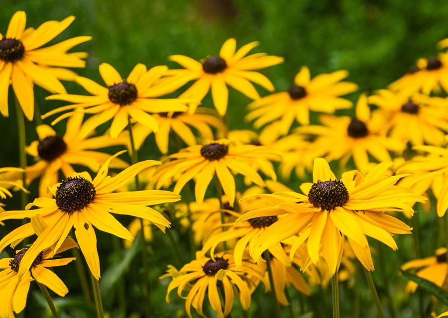 black-eyed-susan-rudbeckia-pixabay_12719.jpg