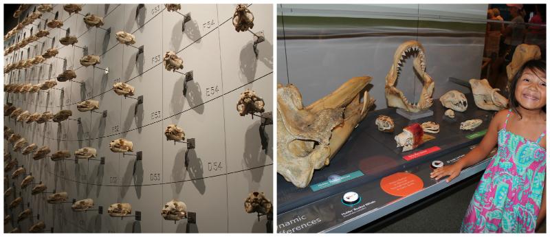 Skulls Exhibit now thru November 30th