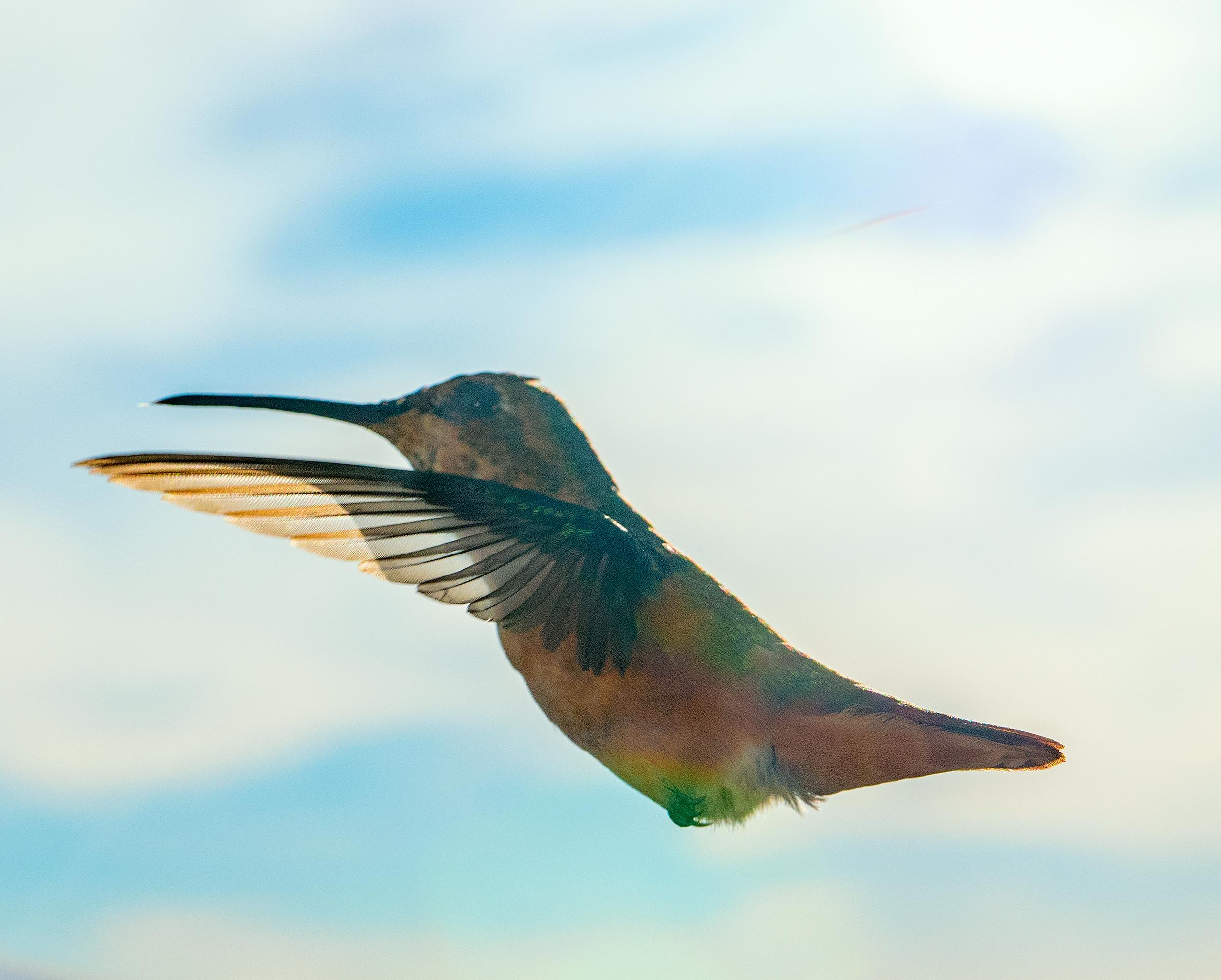 hummingbird_8.jpg