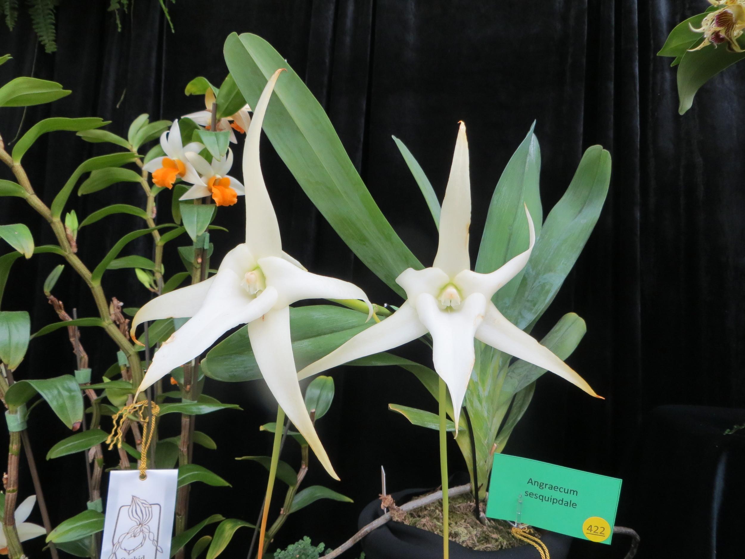 alterta orchid2014 134.JPG