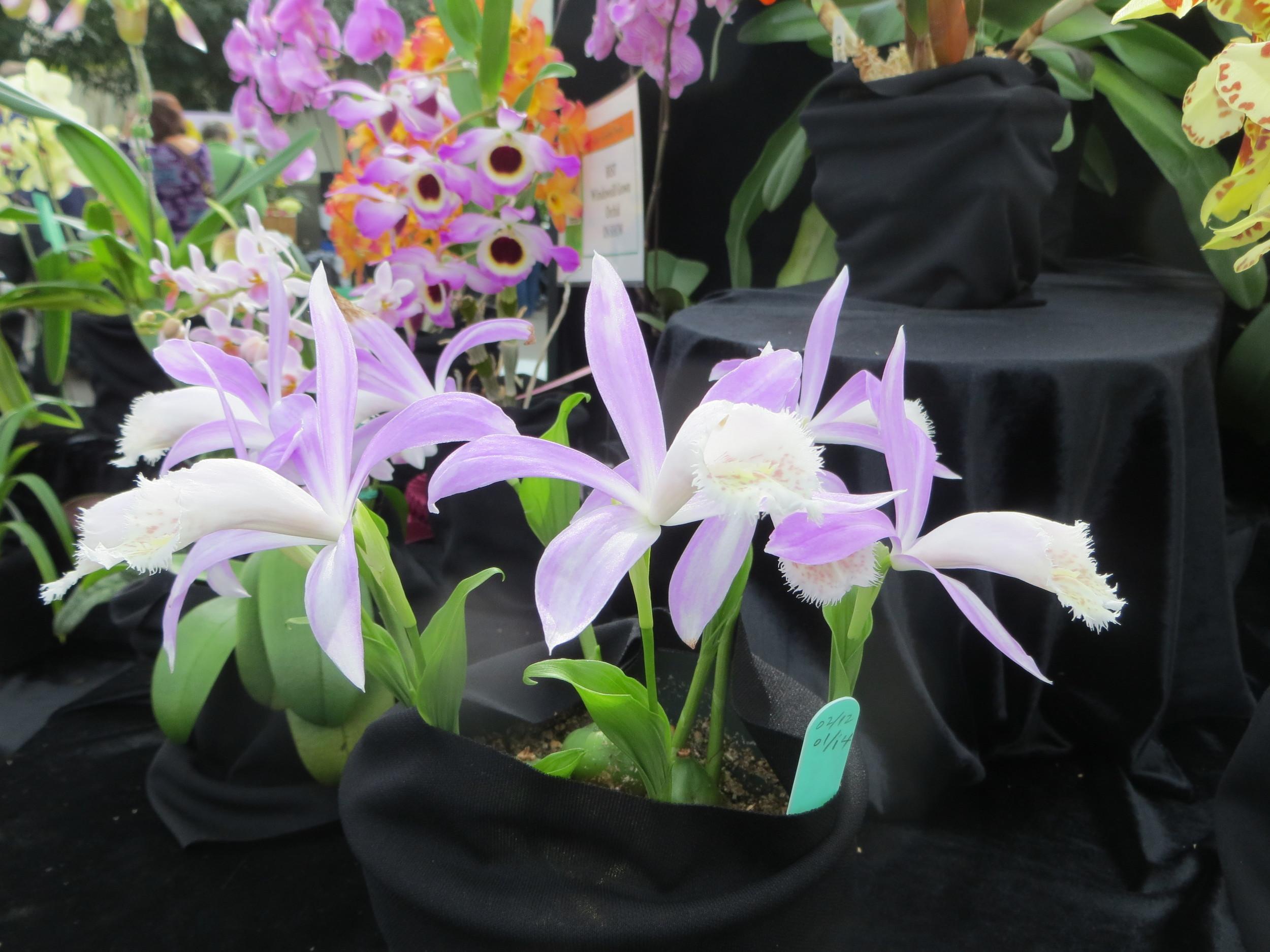 alterta orchid2014 070.JPG