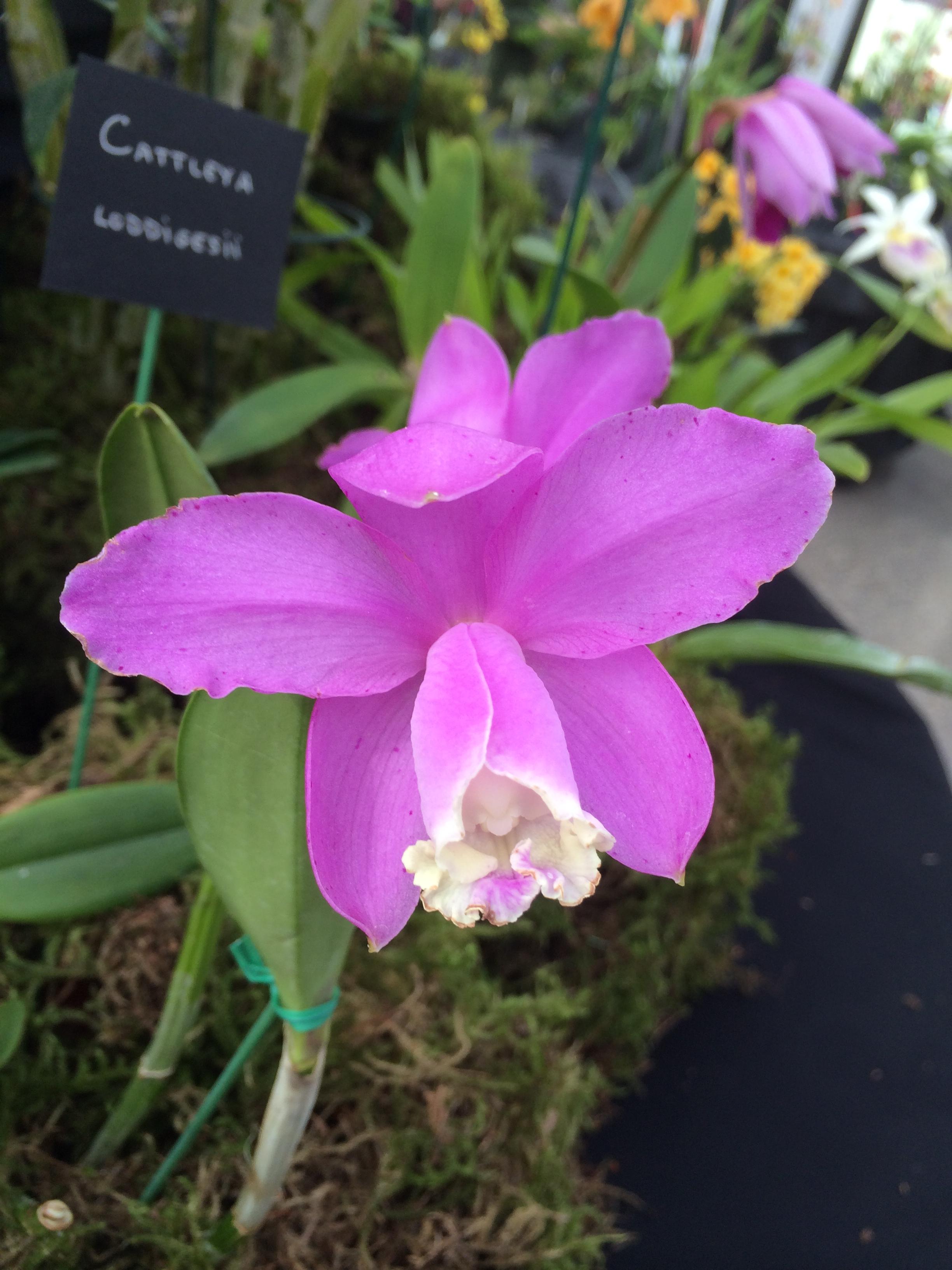 orchid show ewa 166.JPG