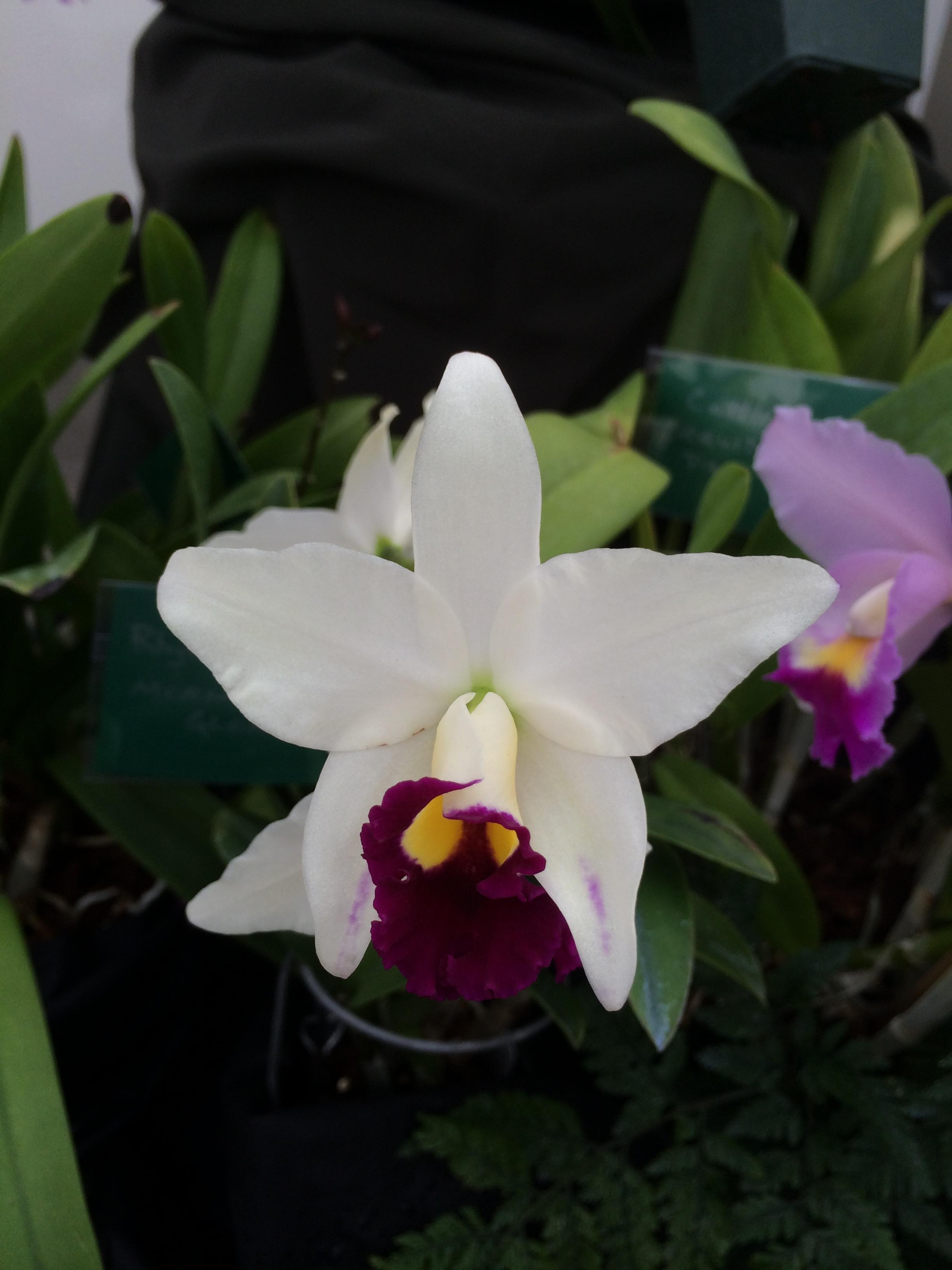 orchid show ewa 140.JPG