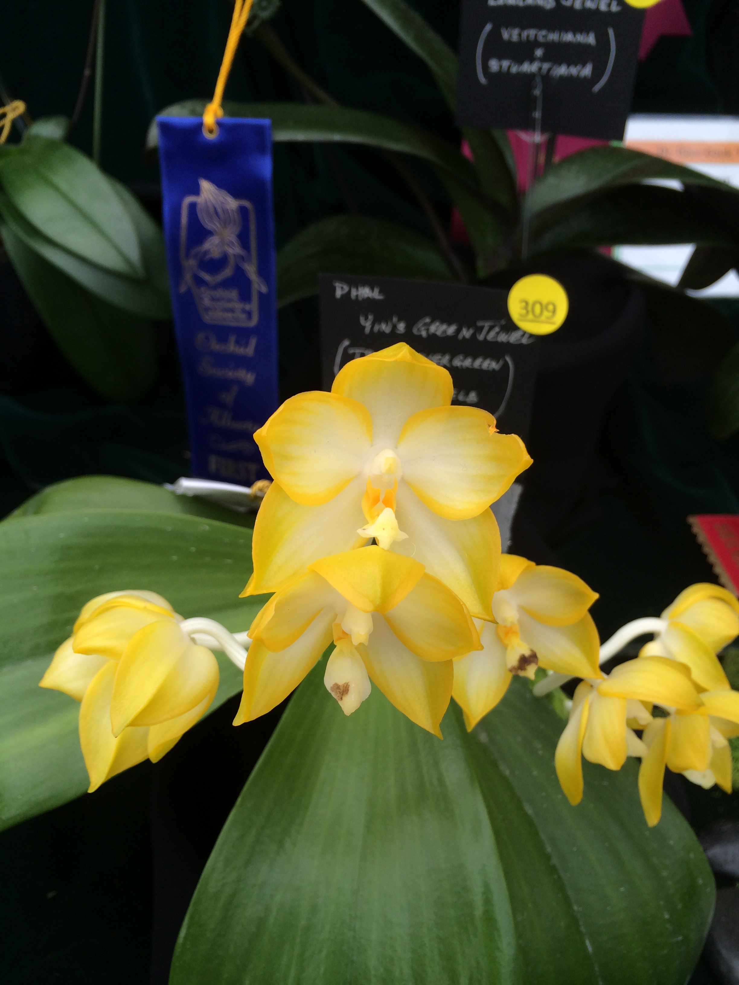 orchid show ewa 047.JPG