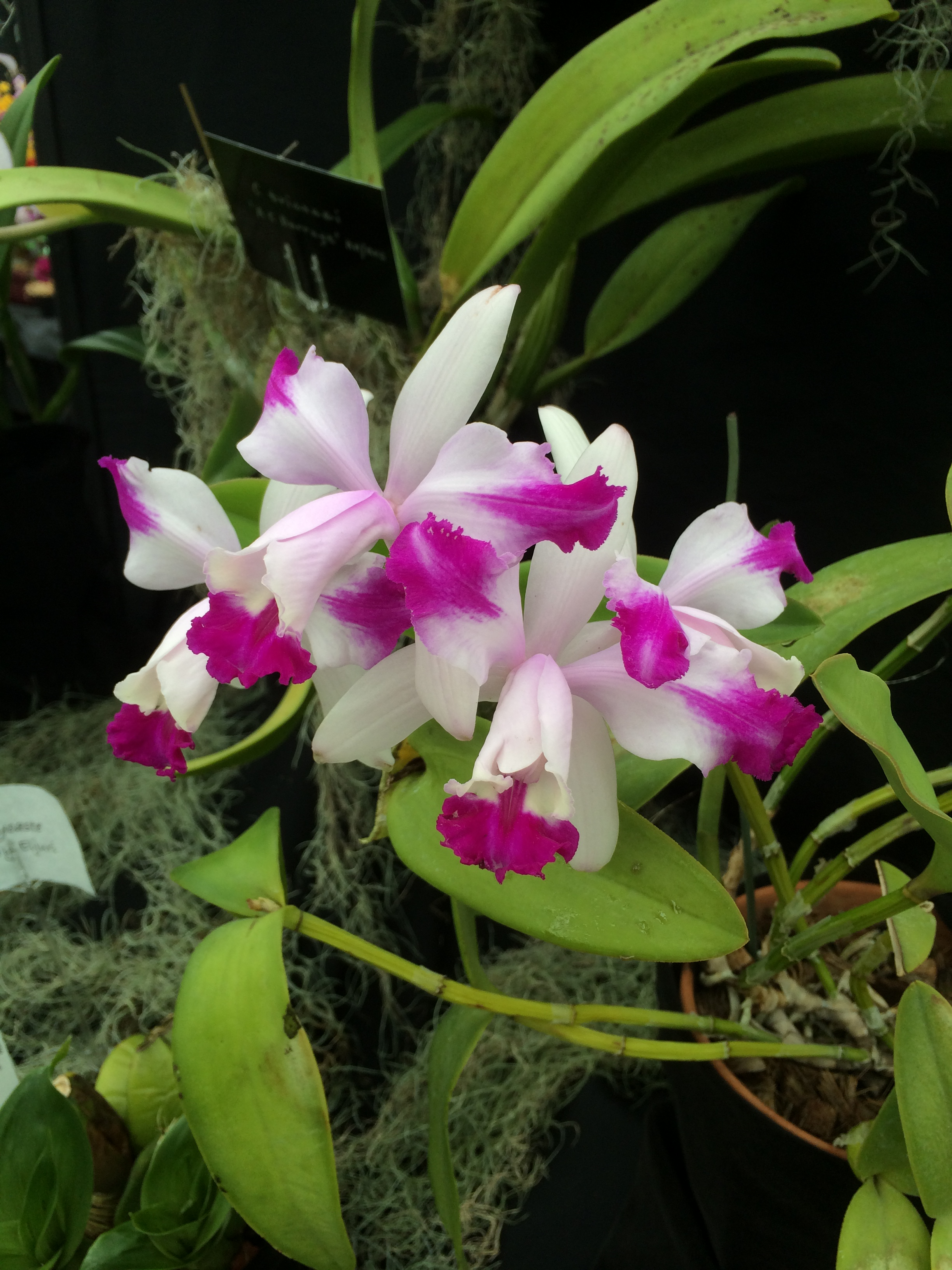 orchid show ewa 230.JPG