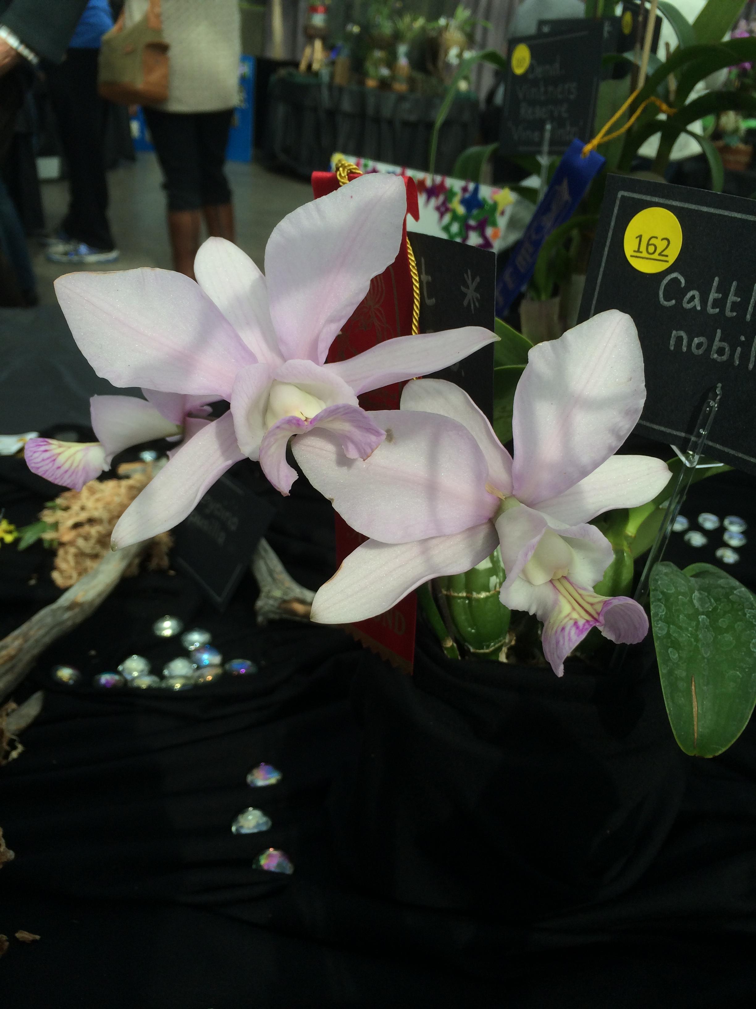 orchid show ewa 067.JPG