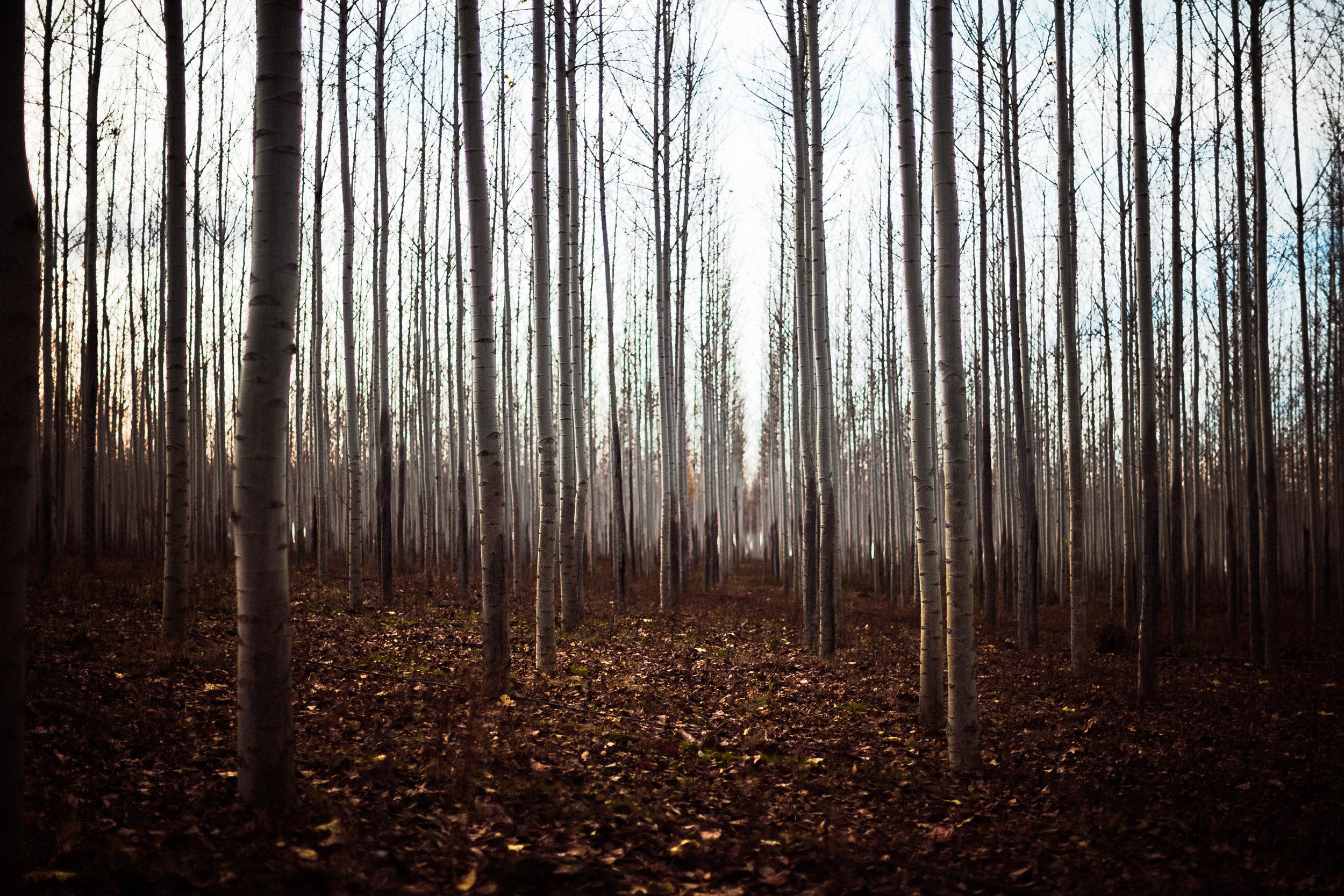 forest of treees-5.jpg
