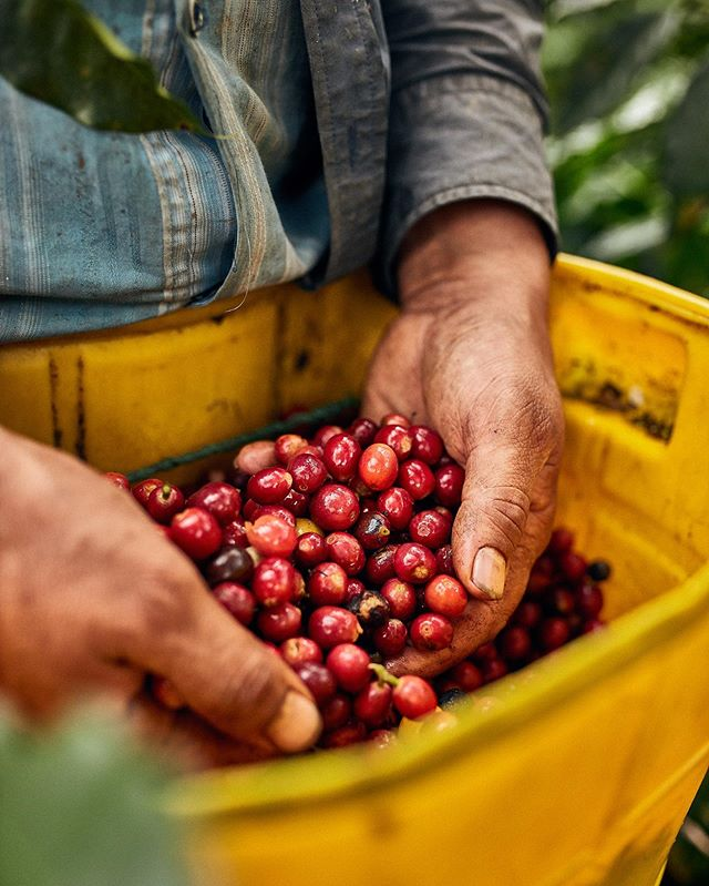 Coffee cherries hand picked on the other side of the world just for you....take a moment to savour your next cup and think about the journey it's taken to get into your hands 👐🏼☕️