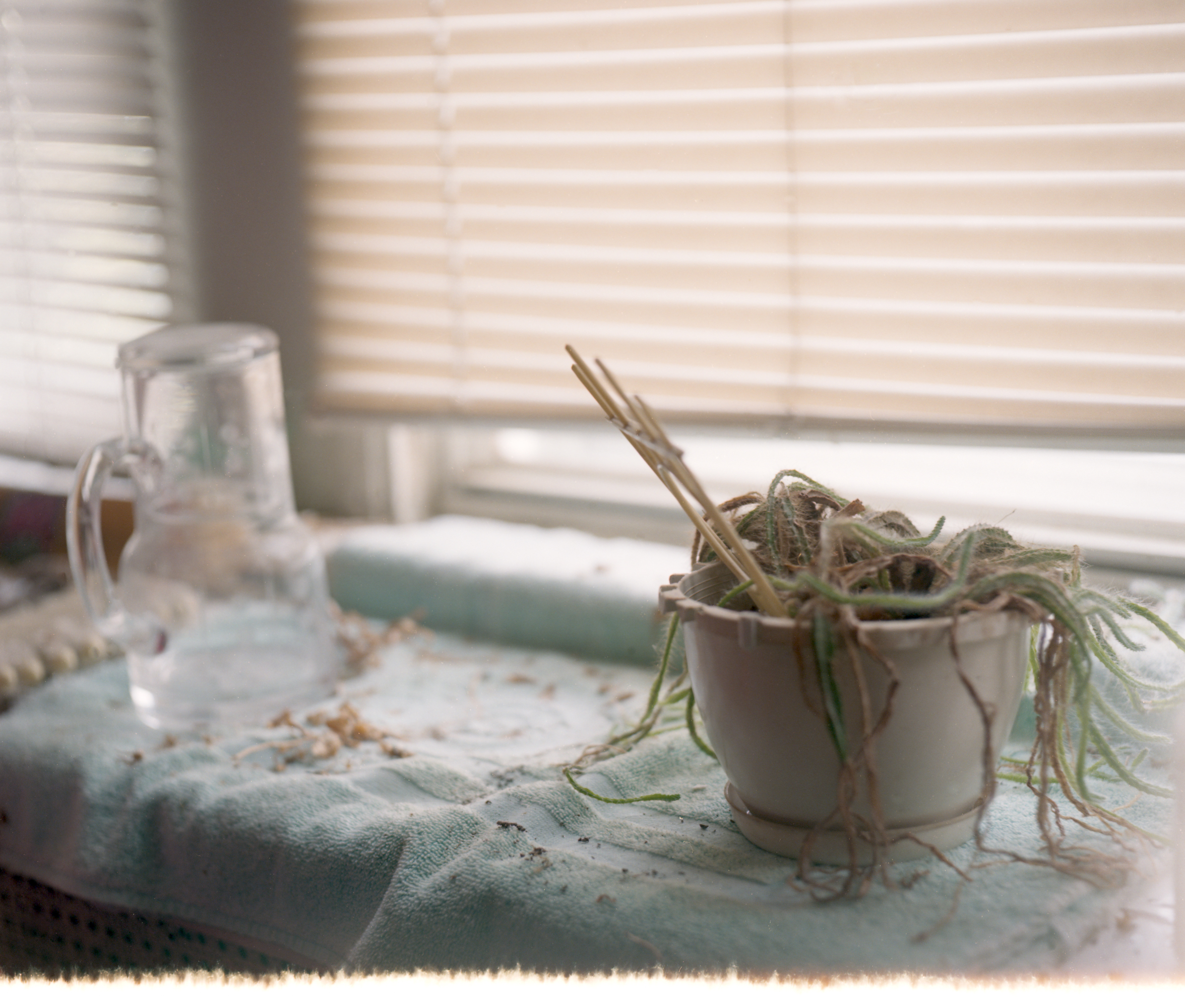 Dead plant at window