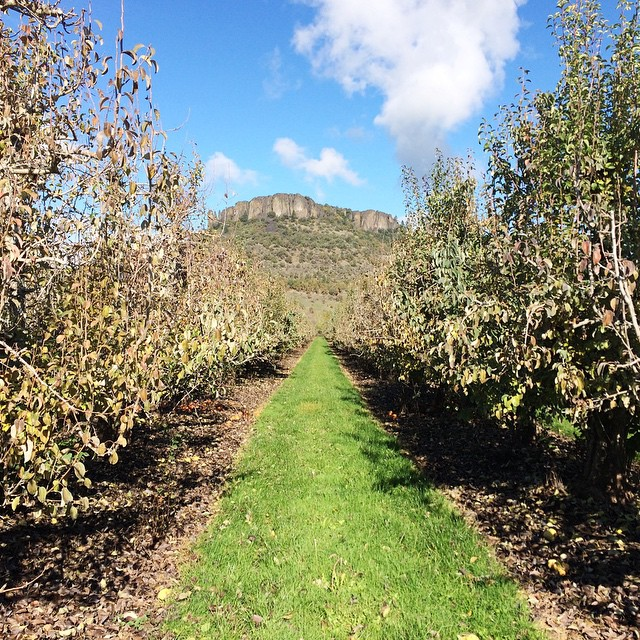 View of Lower Table Rock through a pear orchard