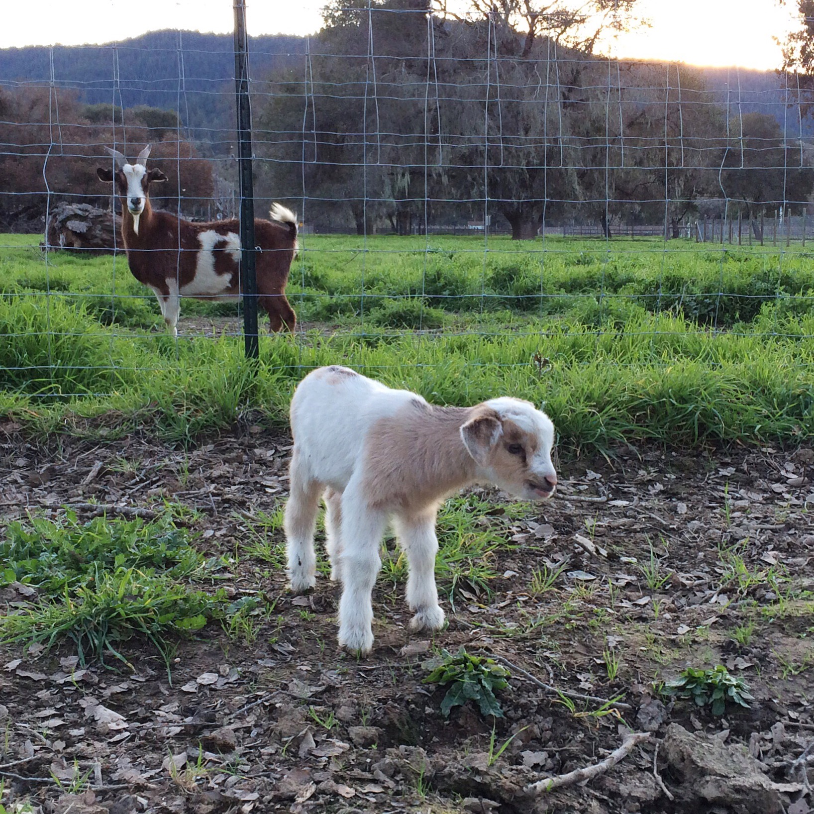 Baby goat at Anderson Valley Brewing Company