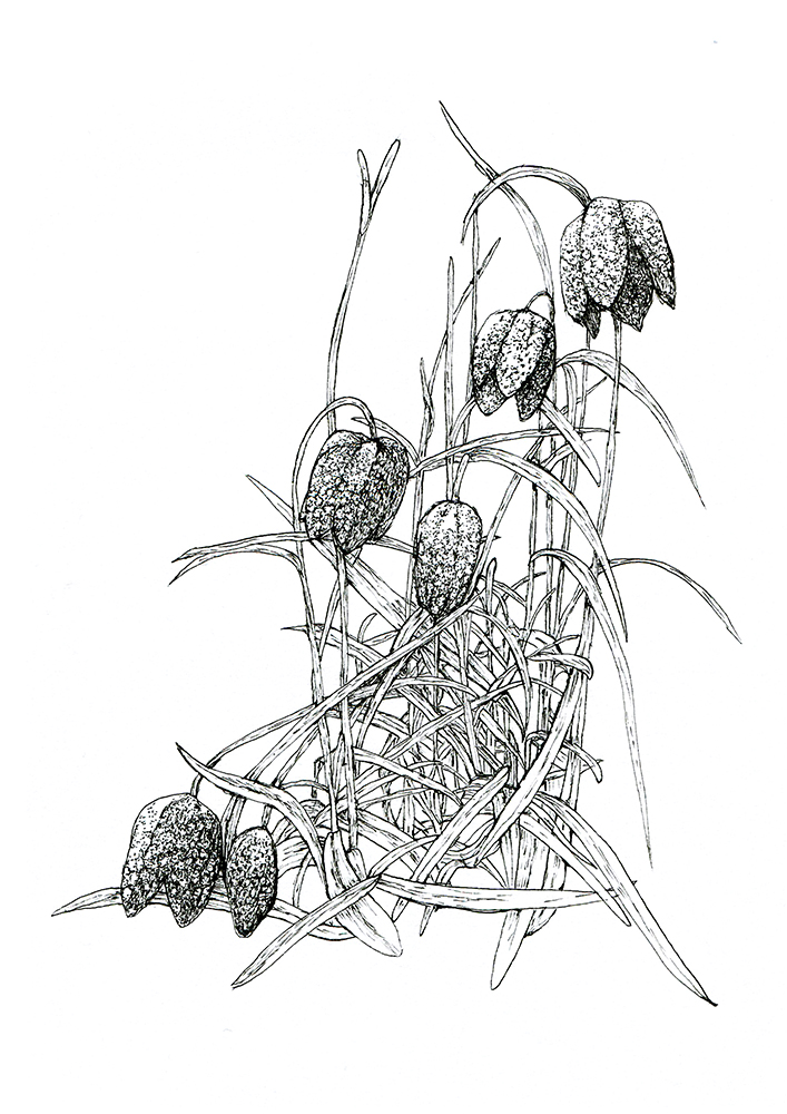 Buy the  Fritillaria Flower  print