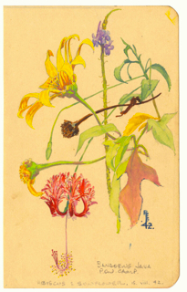 Tropical flowers from the Bandoeng POW camp on Java, August 1942.  Ray loved nature and the colours of Java tantalised him.