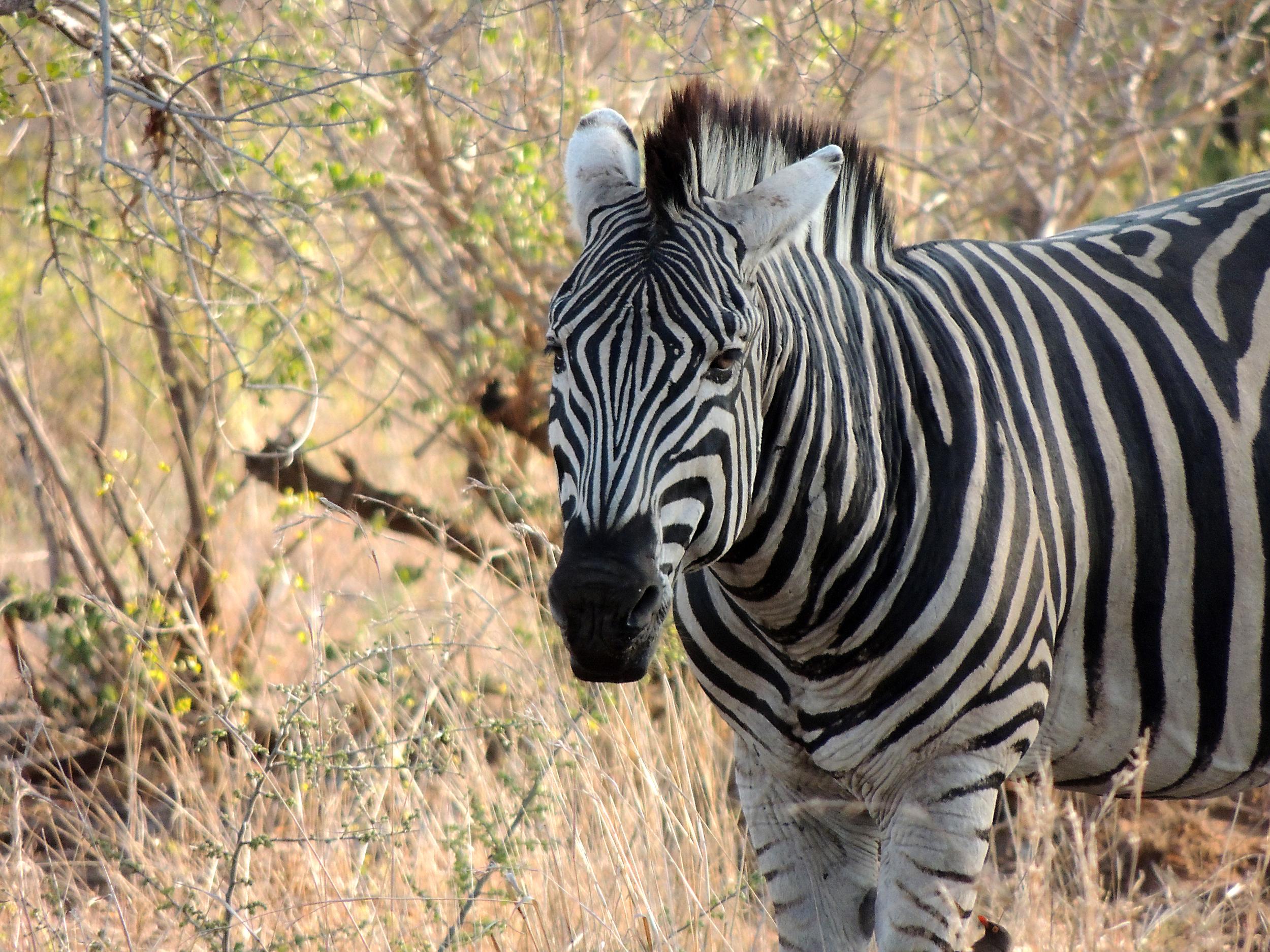 Zebra 1.JPG