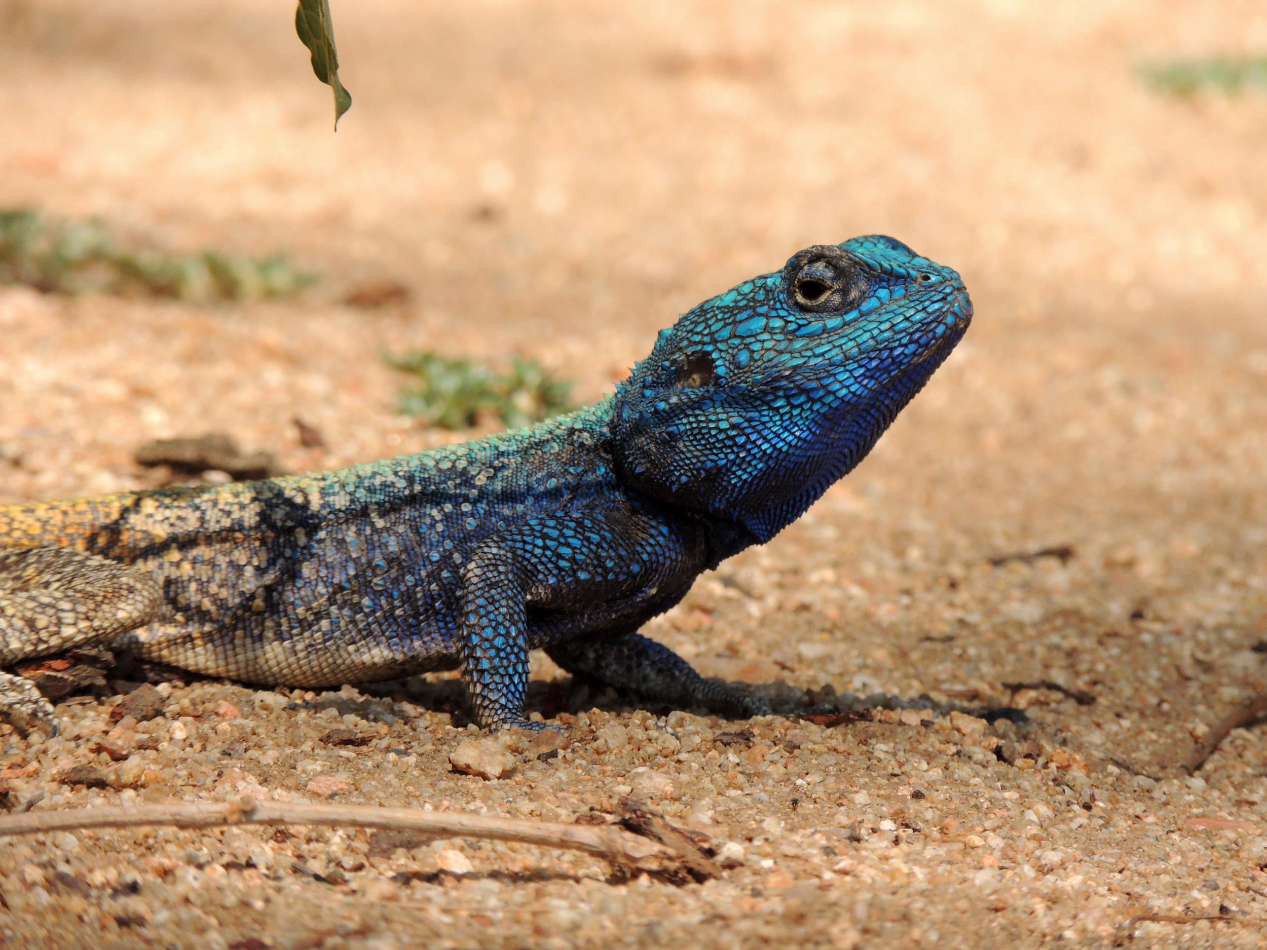 lizard1.JPG